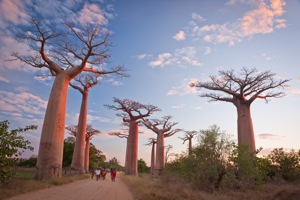 The once extensive Baobab forests had to make way for rice paddies