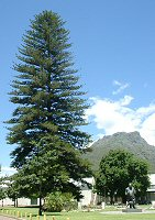 Araucaria - click to enlarge