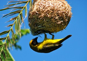 Last year's weaver has an all yellow belly