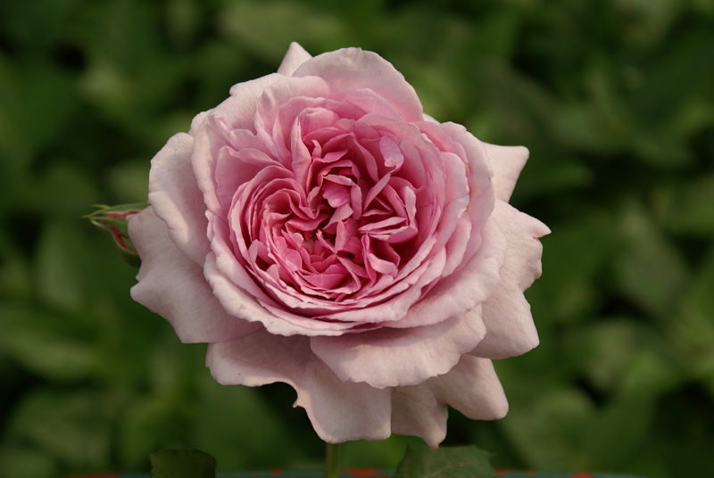 A rose named Gwen Fagan